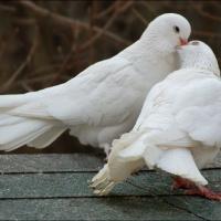 Предлогаю голубей на свадьбу