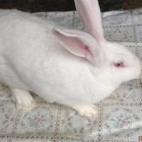 Продам.Обменяю  Кролика
