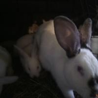Продаю кроликов на племя и мясо.