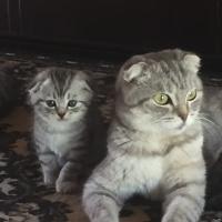 Кошки пушистики